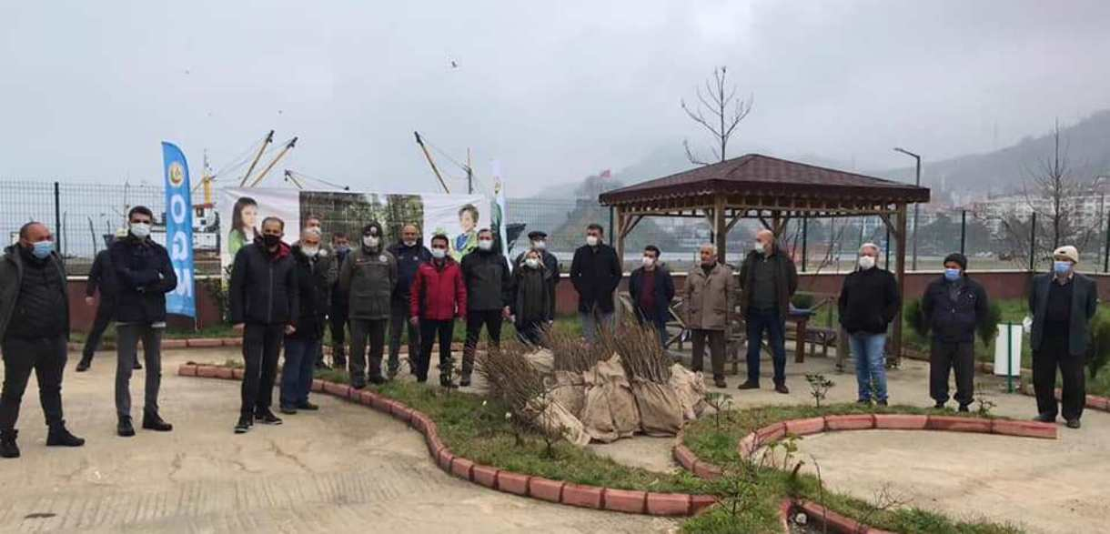 Tirebolu'da Şebin Cevizi Dağıtıldı